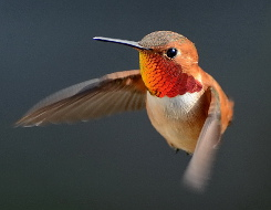 Male Rufous Hummingbird © 2013 Tania Simpson
