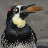 Acorn Woodpecker © 2014 Dave McMullen