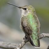 Anna's Hummingbird © 2014 Dave McMullen