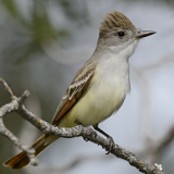 Ash-throated Flycatcher © 2014 Dave McMullen