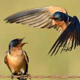 Barn Swallows © 2013 Dave McMullen