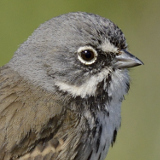 Bell's Sparrow © 2014 Dave McMullen