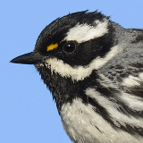 Black-throated Gray Warbler © 2013 Dave McMullen