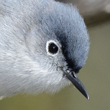 Blue-gray Gnatcatcher © 2014 Dave McMullen