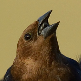 Brown-headed Cowbird © 2013 Dave McMullen