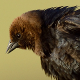 Brown-headed Cowbirds © 2013 Dave McMullen