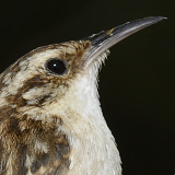 Brown Creeper © 2013 Dave McMullen