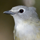 Cassin's Vireo © 2013 Dave McMullen