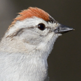 Chipping Sparrow © 2013 Dave McMullen
