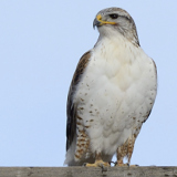 Ferruginous Hawk © 2014 Dave McMullen