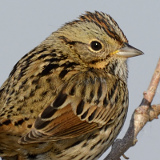 Lincoln's Sparrow © 2013 Dave McMullen