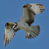 Osprey © 2013 Dave McMullen