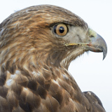 Red-tailed Hawk © 2014 Dave McMullen