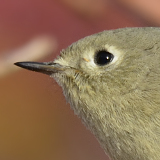 Ruby-crowned Kinglet © 2013 Dave McMullen