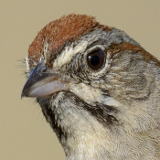 Rufous-crowned Sparrow © 2014 Dave McMullen