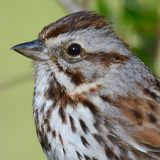 Song Sparrow © 2013 Dave McMullen