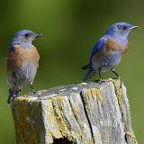 Western Bluebirds © 2013 Dave McMullen
