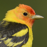 Western Tanager © 2014 Dave McMullen