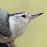 White-breasted Nuthatch © 2013 Dave McMullen