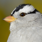 White-crowned Sparrow © 2013 Dave McMullen