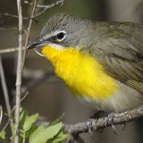 Yellow-breasted Chat © 2012 Dave McMullen